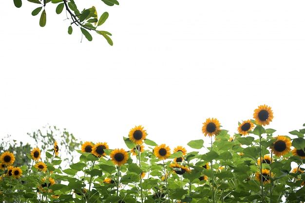 Photo of sunflower field. Free Photo