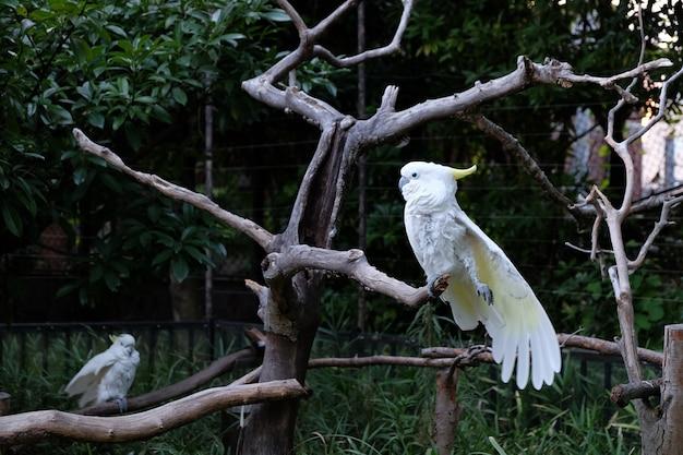 Foto di due cacatua dalla cresta di zolfo sui rami degli alberi in uno zoo Foto Gratuite