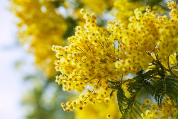 Foto di acacia gialla Foto Gratuite
