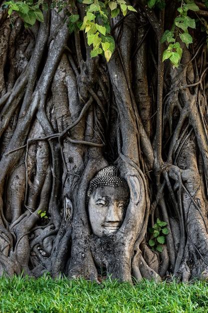 아유타야 나무에 붙어 부처님 머리 프리미엄 사진