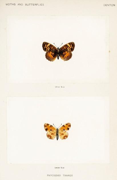 米国の蛾と蝶からのパール・クレセント(phyciodes tharos) 無料写真