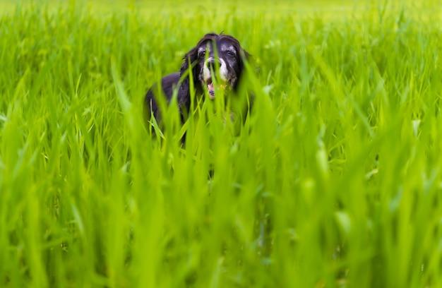 Immagine di un cocker spaniel inglese nero che gioca nell'erba alta Foto Gratuite