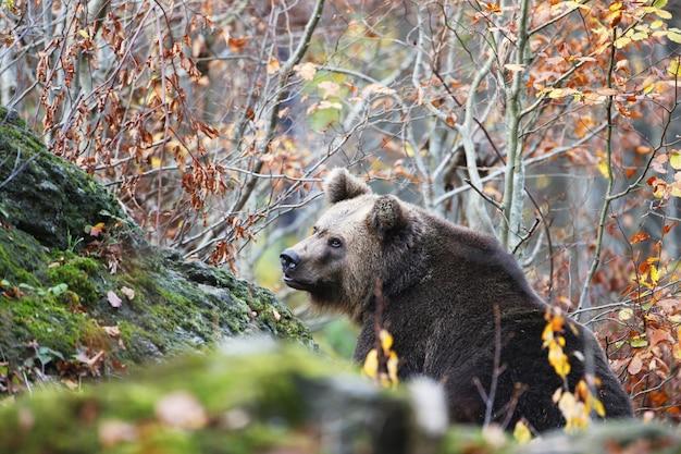 Картина бурого медведя в баварском лесу, в окружении разноцветных листьев осенью Бесплатные Фотографии