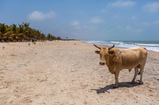 Изображение коровы на пляже в окружении моря и зелени под голубым небом в гамбии Бесплатные Фотографии