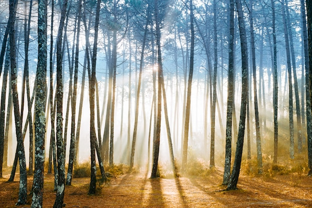 Picturesque forest with sun rays shining through trees. Premium Photo