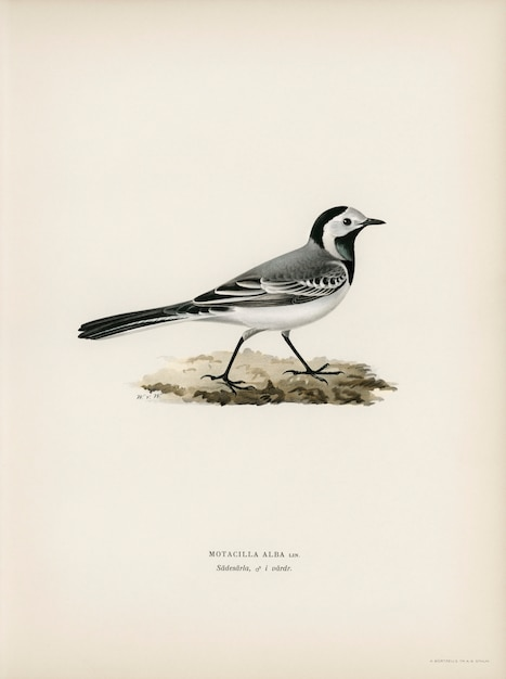 フォンライトの兄弟によって描かれたpied wagtai male(motacilla alba)。 無料写真