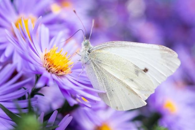 Pieris brassicae, большая белая, также называемая бабочкой кочанной капусты, белокочанная капуста - бабочка в семействе pieridae. бабочка на сентябрьские цветы Premium Фотографии