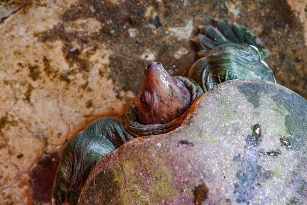 Pig nose turtle Premium Photo