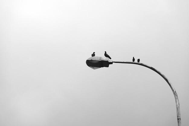 Pigeons on a streetlamp Free Photo