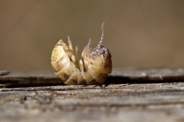 Pill bug Premium Photo