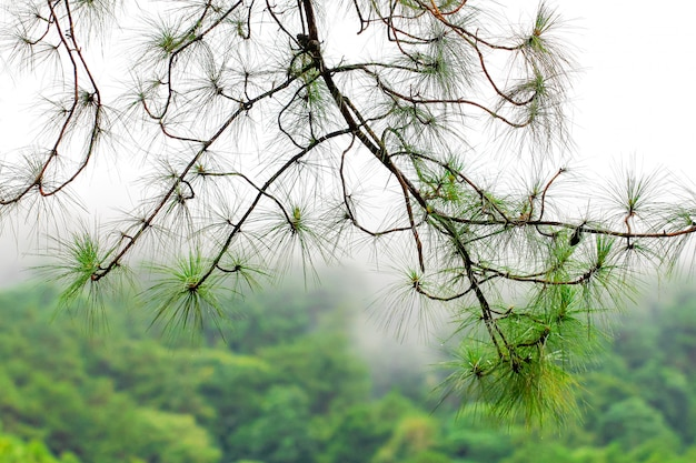 Pine branch after rain with soft focused Premium Photo