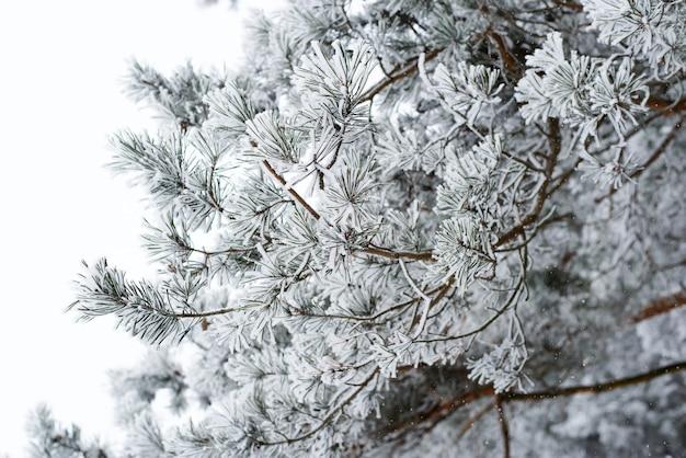 파인 지점은 눈과 서리로 덮여 있습니다. 겨울 숲 풍경. 프리미엄 사진