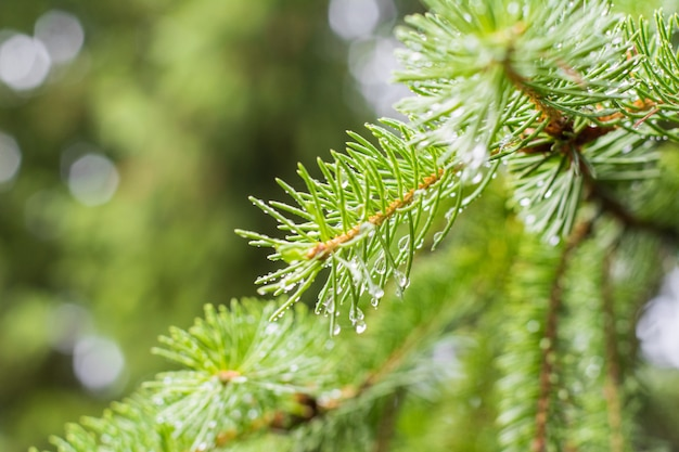 Pine branch on pine tree. pine tree in pine forest. wild nature. greenery. park. outdoor photo. Premium Photo