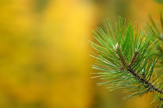 Pine branches on blurred bokeh background Premium Photo