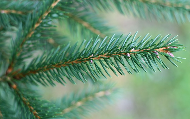 Pine branches with dew Premium Photo
