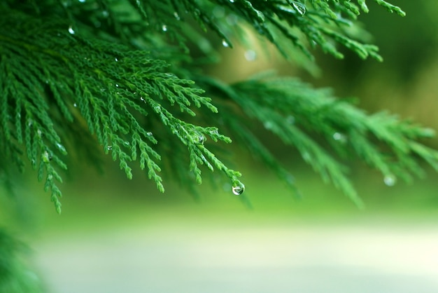 Pine branches with dew Premium Photo