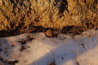 Pine cone in snow at dusk in sequoia nat Free Photo