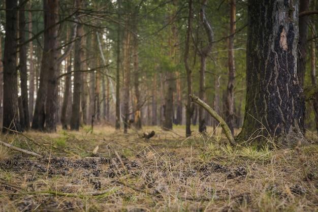 Pine forest morning Premium Photo