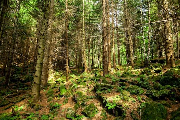 松林の木自然緑の木の日光 Premium写真