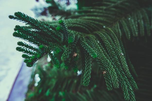 Pine leaf Premium Photo