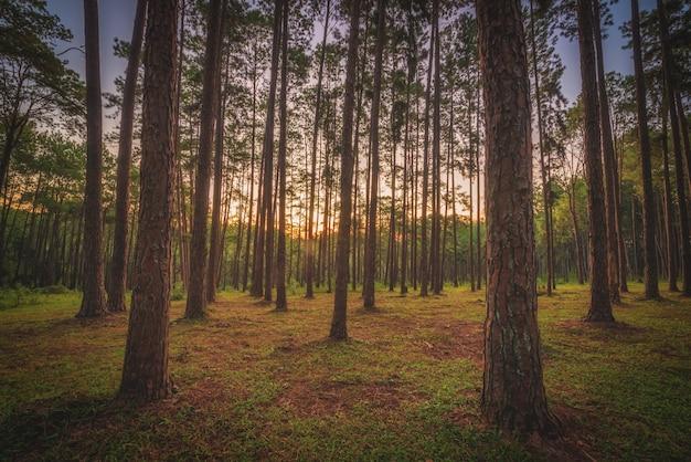 タイ、チェンマイのボアキーウ造林研究ステーション(スアンソンボアキーウ)の日の出の松の木。 Premium写真