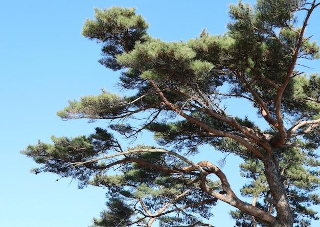 Pine tree in korea Premium Photo