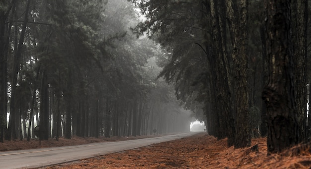Pine tree mist road beautiful scene Premium Photo