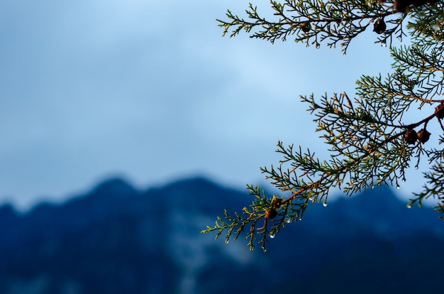 Pine tree that have water drop on seed and leaves with mountain Premium Photo