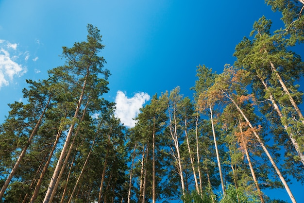 Pine trees against the blue sky with clouds. daylight. Premium Photo