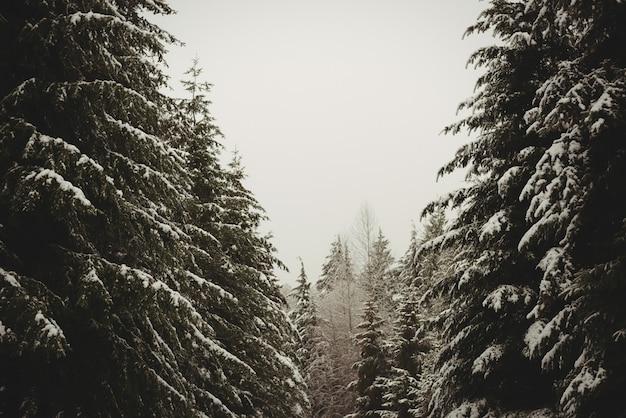 Сосны, покрытые снегом Бесплатные Фотографии