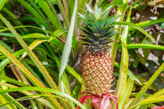 Pineapple fruit isolated in plantation with sunlight with leaves Premium Photo