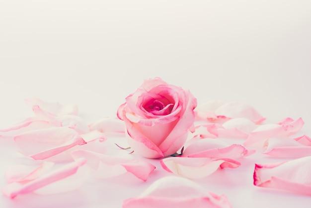 꽃잎과 분홍색과 흰색 장미 무료 사진