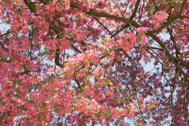 庭のピンクのリンゴの花。日光の下で美しい春の花 Premium写真