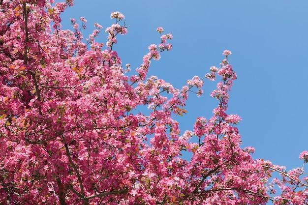 青い空の背景にピンクのリンゴの花。日光の下で美しい春の開花木 Premium写真