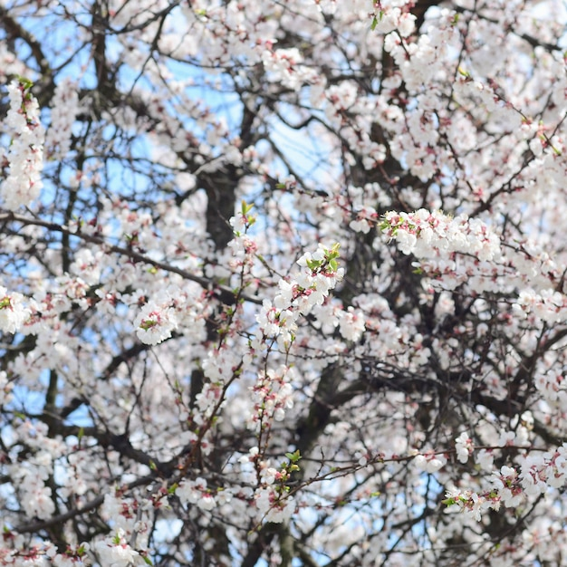 Pink apple tree blossoms with white flowers Premium Photo