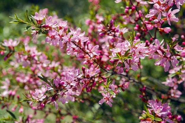 ピンクの咲く観賞用低木アーモンド低、amygdalus nana、クローズアップ、ローカルフォーカス、浅いdof Premium写真