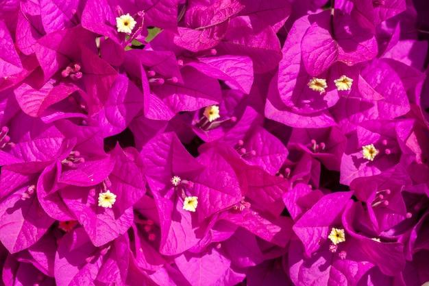 ピンクのブーゲンビリアの花 Premium写真