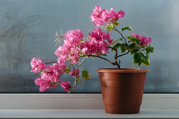 Pink bougainvillea growing in a pot on the windowsill. misted glass. Premium Photo