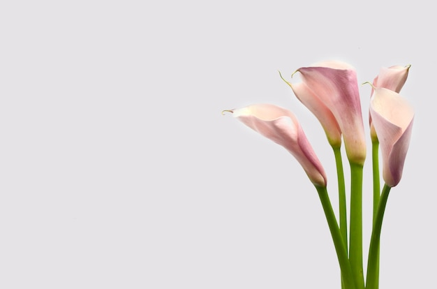 Pink Calla Lily Flower On White Background Photo Premium Download
