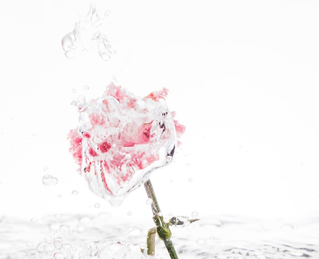 Pink carnation falling into water Free Photo