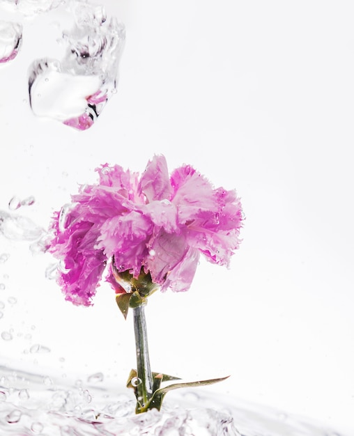 Pink carnation falling into water Free Photo