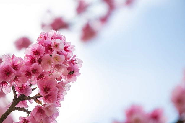 Pink cherry blossoms bloom in spring. Free Photo