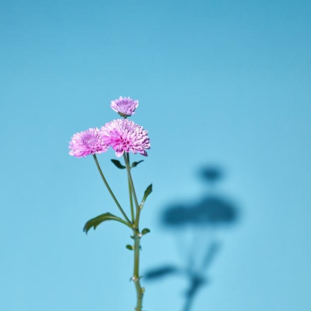柔らかい影とソフトフォーカスの青い背景に緑の葉と咲くピンクの菊の花。 Premium写真