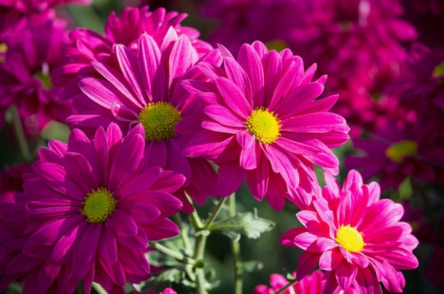 pink chrysanthemums daisy flower Free Photo