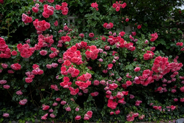 Pink climbing rose bushes in the garden Premium Photo
