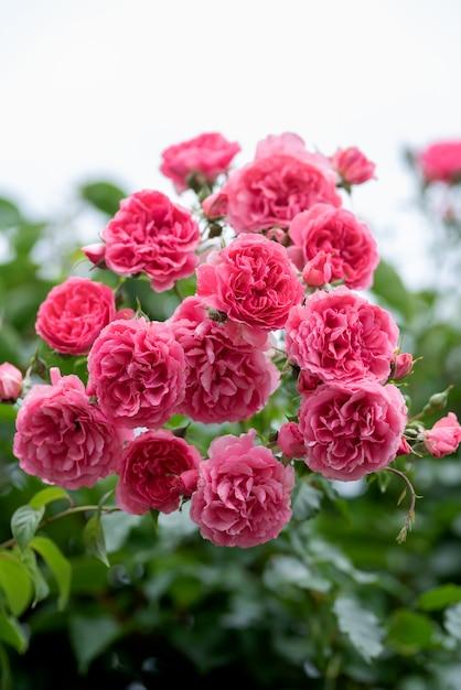Pink climbing rose bushes in the garden Premium Photo