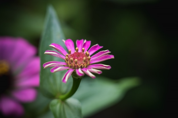 Pink common zinnia (zinnia elegans) in garden with space for putting text, lowkey Premium Photo