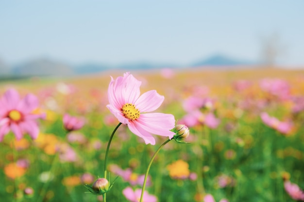 Pink cosmos in field. Premium Photo