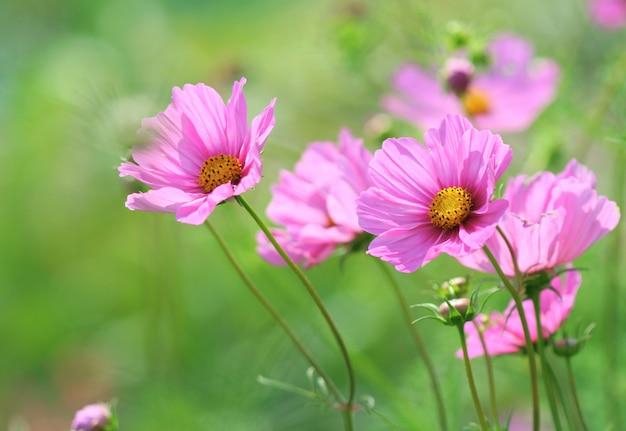 Розовый космос цветок Premium Фотографии