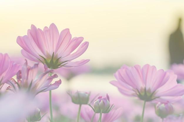 Pink cosmos flowers blurred with blurred pattern background. Premium Photo